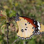 DSC04973_Danaus_chrysippus_Nymphalidae_Lepidoptera